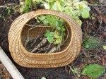 parsnips in a basket