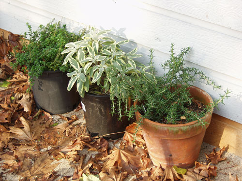 sage-rosemary-thyme